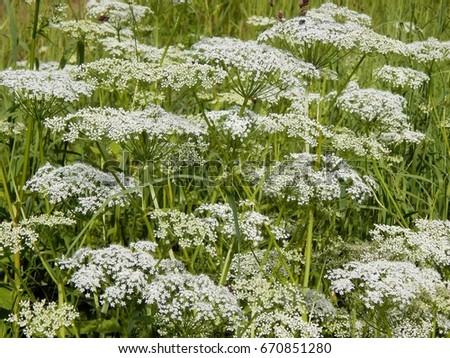White meadow flowers closeup stock photo safe to use 670851280 white meadow flowers close up mightylinksfo