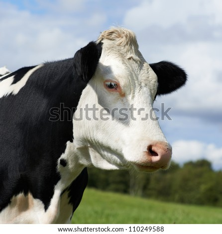 White milch cow with black spots