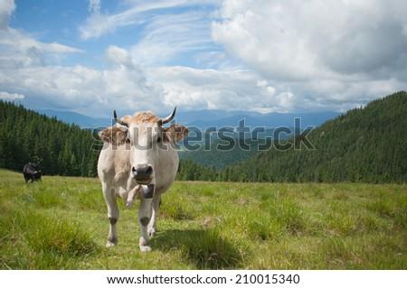 White milk cow overlooking beautiful vista on meadow in the European Alps - stock photo