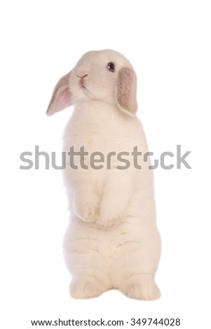 White Mini lop bunny rabbit standing up and looking down isolated on white background