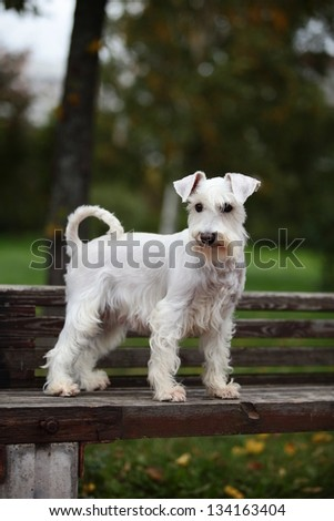 white miniature schnauzer in nature - stock photo
