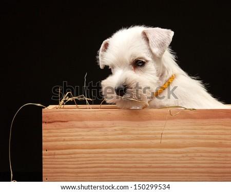 White Miniature schnauzer puppy in a wooden box - stock photo