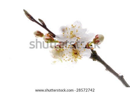 white mirabel bloom