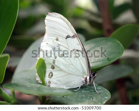 White Morpho Butterfly - stock photo