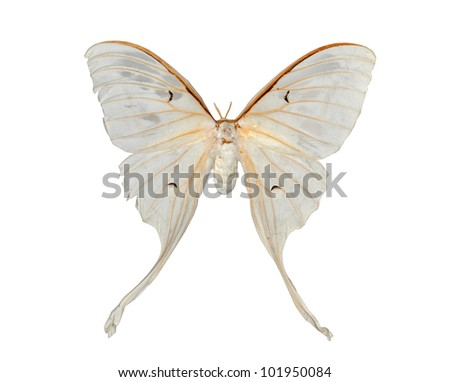 white moth butterfly (Actias artemis) isolated - stock photo