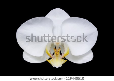 White Moth orchid isolated on black