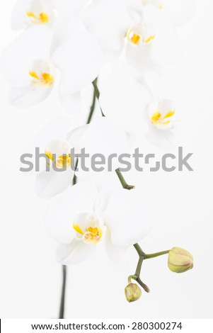White Moth orchids and buds close up over white background - stock photo