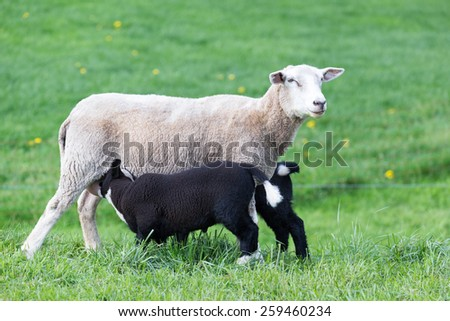 White mother sheep with two drinking black lambs in meadow - stock photo
