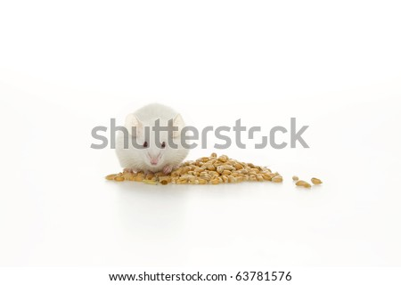 White mouse and corn, on white background. - stock photo