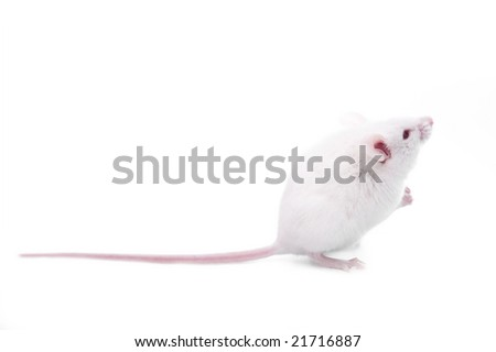 white mouse isolated on a white background