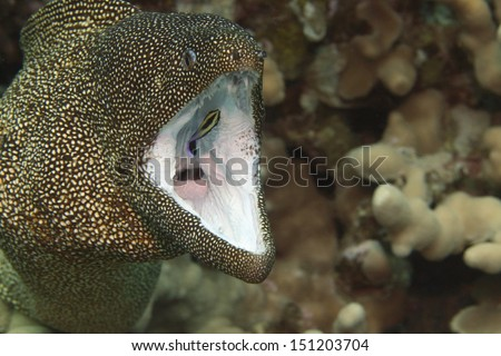 White mouth moray eel getting a deep cleaning from a cleaner wrasse inside its mouth - stock photo