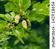 white mulberry on the branch - stock photo