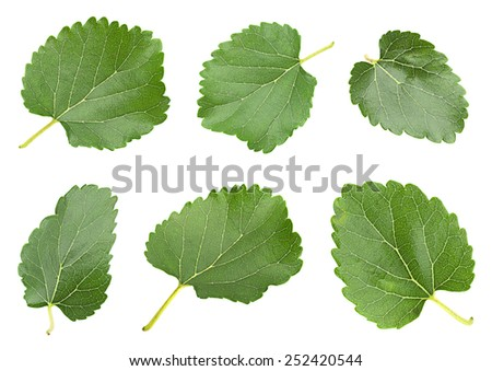 White mulberry with leaf set isolated on white - stock photo