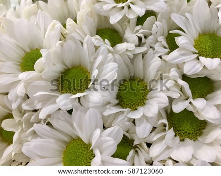 White mums flowers stock photo edit now 587123060 shutterstock white mums flowers mightylinksfo