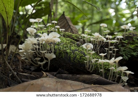 White Mushroom in the tropical rainforest of Borneo, Malaysia