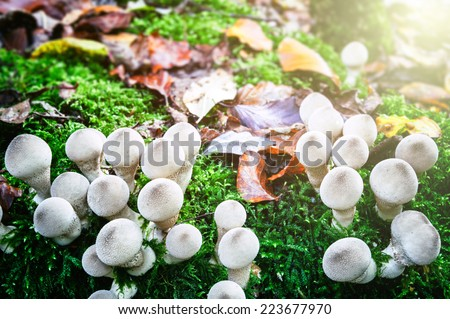 White mushrooms in sunny autumn forest - stock photo