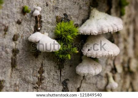 white mushrooms on a tree trunk - stock photo
