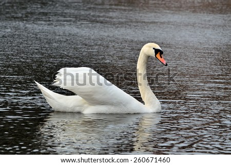 White mute swan is swimming on the Lake - stock photo