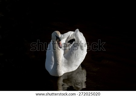 White mute swan on the water against black background