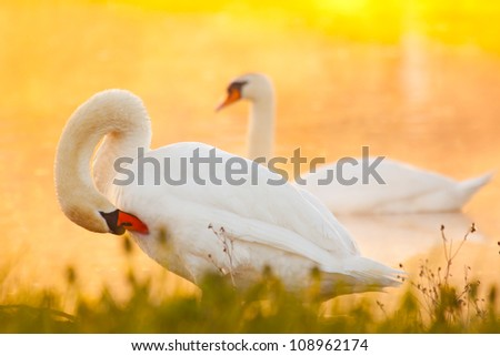 White mute swans in the morning,  sunrise in lake - stock photo
