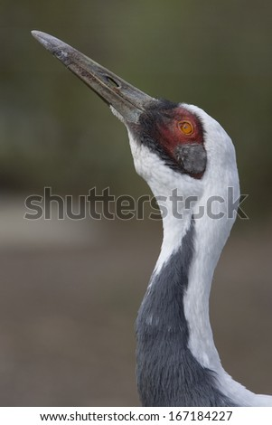 White-naped crane, Portrait, Grus Vipio