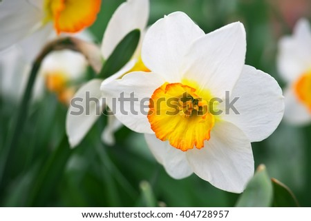 White narcissus growing in the garden. Narcissus poeticus