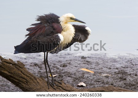 White-necked heron feeding and grooming in Hasties Swamp, Queensland.