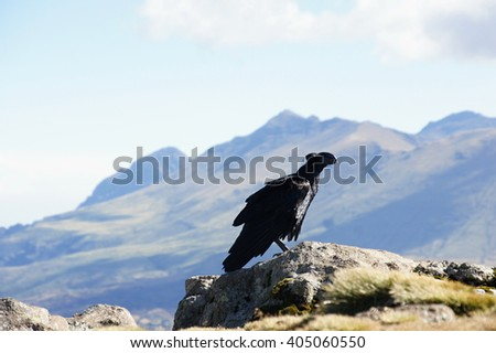 White-necked raven in Simien mountains. Ethiopia
