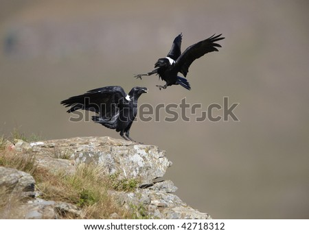 White-necked Ravens (Corvus albicollis) fighting on top of a hill in South Africa