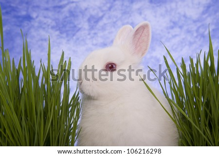 White Netherland Dwarf Bunny Rabbit eating with green grass and blue sky background