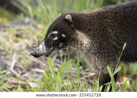 White-nosed coati - stock photo