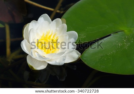 White Nymphaea, or water Lily (lat. Nymphaea alba) - stock photo