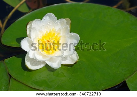 White Nymphaea, or water Lily (lat. Nymphaea alba) in the droplets of rain - stock photo