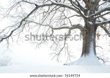 White Oak tree covered in snow, Webster County, West Virginia, USA