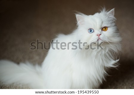 White Odd-Eyed Persian Cat - stock photo