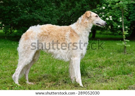 White of russian borzoi dog on a green summer background