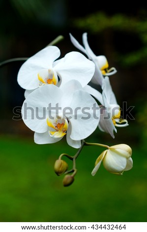 white orchid bloom - stock photo