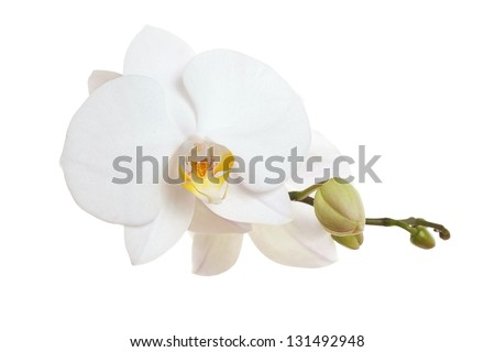 White Orchid closeup - stock photo