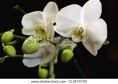 White orchid flower close-up