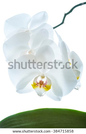 White orchid flower isolated against white background.
