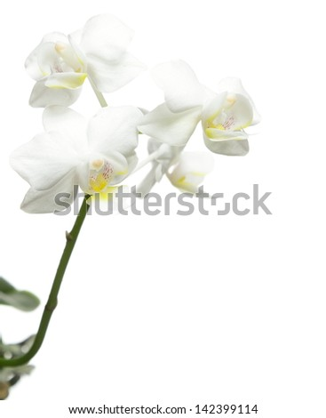 White orchid flower isolated on a white background