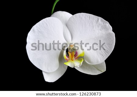White orchid flower isolated on black background.