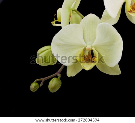 White orchid flower isolated on black background - stock photo