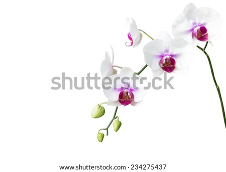 White orchid flower on white background