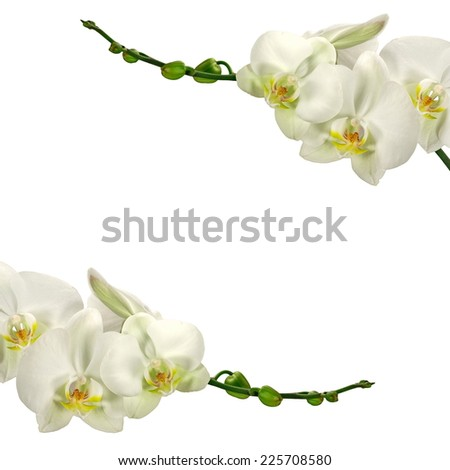 White orchid flowers with bud, on a isolated background - stock photo