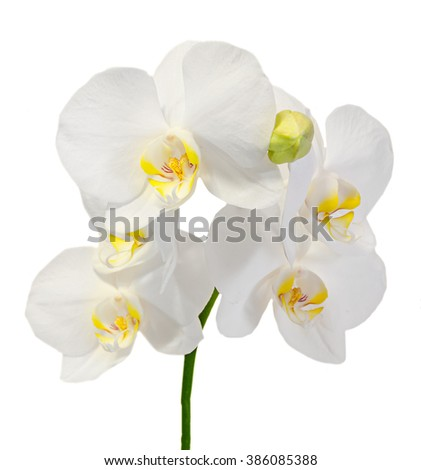 White orchid flowers with buds, Orchidaceae, Phalaenopsis known as the Moth Orchid, abbreviated Phal. White background. - stock photo
