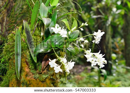 White orchid growing on a tree in Hawaii Big Island Oahu