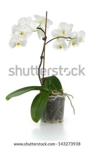 white orchid in flower - pot on white background - stock photo