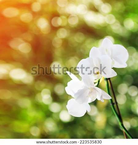 White orchid in sunlight, green bokeh in background. Shallow depth of field. Focused on one flower