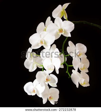White orchid isolated on black background. - stock photo
